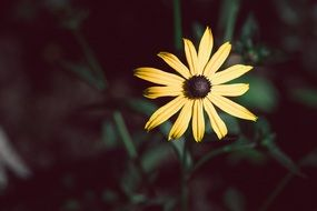 shining coneflower