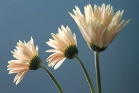 white gerbera flowers against the sky