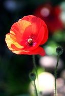 Red poppy in nature