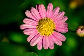 Pink Marguerite flower at blurred green background