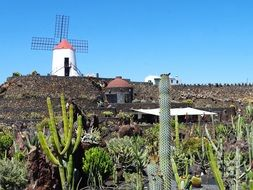 cactus on the background of white milt on the island of Lanzarote