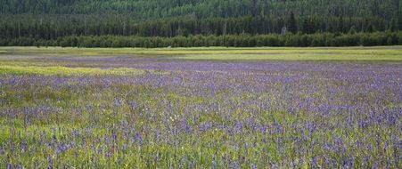 Beautiful meadow with purple wildflowers in Umatilla national forest in Oregon