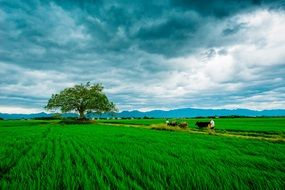 bright green agricultural field