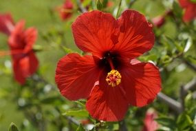red hibiscus with yellow stamen