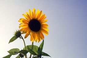 sunflower on a stalk against the clear sky
