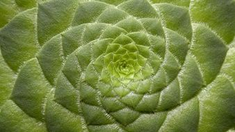 green Aeonium Tabuliforme leaf structure