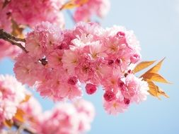 soft japanese cherry blossoms