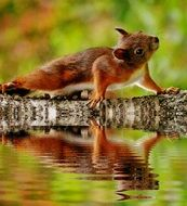 squirrel reflecting on the water