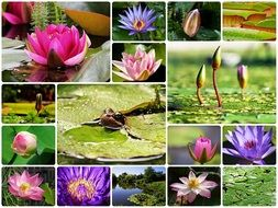 Water Lilies colourful Collage
