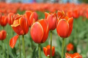 meadow with red tulips