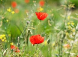 flowering red poppy on a green meadow