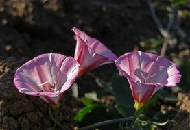 pink field bindweed