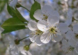 white flowers on blackthorn branches in spring