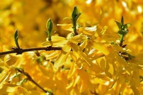 yellow Forsythia flowers on a branch
