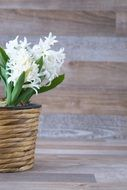 white hyacinth in a flower pot