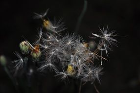 photo of light dandelion seeds