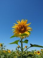 sunflower blossom on a blue sky background