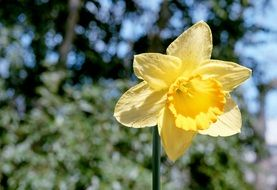 yellow daffodil on a green tree background