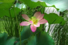pink open Lotus flower among green leaves