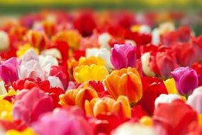 garden bed of colorful tulips