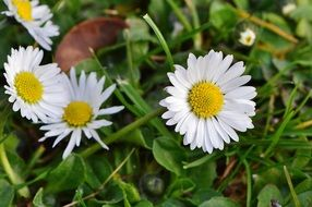 wild daisy flowers on the spring meadow
