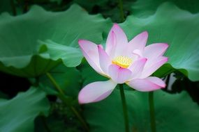 pale pink lotus on a thin stalk among green large leaves