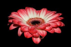 gerbera on a black background