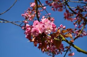 japanese flowering cherry in spring