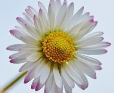 daisy with pale pink petals closeup