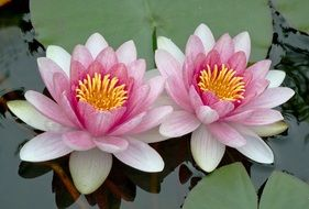 two lotus with pale pink petals close up