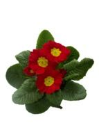 red with yellow center Primrose