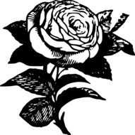 sketch of a garden rose