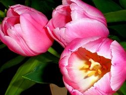 bouquet of pink tulips with green leaves
