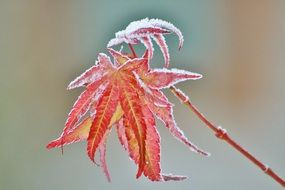 frozen maple leaf on a branch