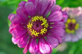 zinnia from the aster family
