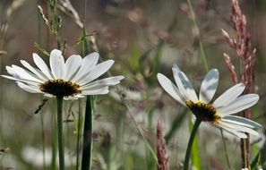 white daisies in a meadow with green grass