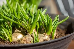 bulbs with green sprouts in a pot