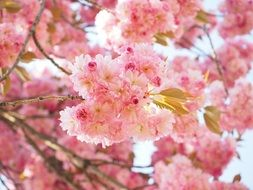 oriental cherry blossoms in spring