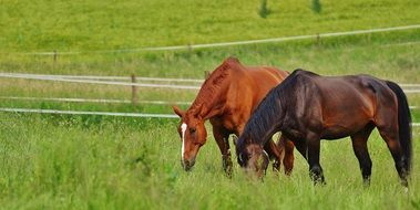 couple of grazing horses
