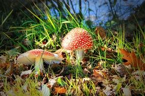Fly Agaric among dry foliage and green grass