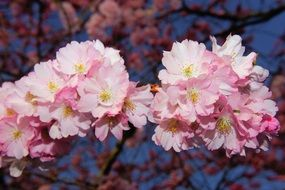bright cherry blossom closeup