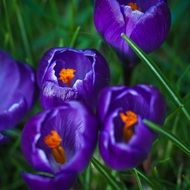dark blue crocus flowers