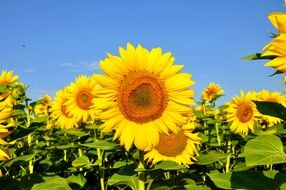 field of sunflowers under a bright blue sky