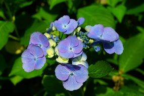 blue hydrangea is a decorative flower