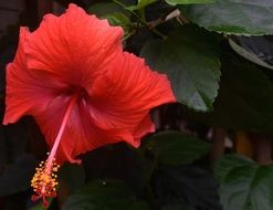 hibiscus is a tropical flower