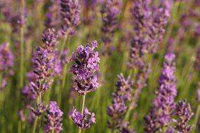 aromatic lavender field