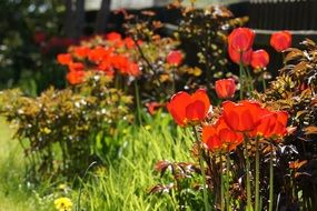 red tulips in the sunny garden