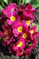 Primrose, plant with Pink Flowers in soil