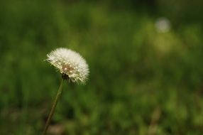 white fluffy dandelion on the green meadow