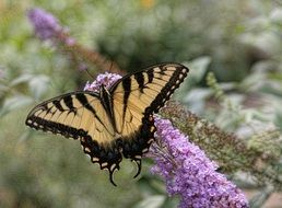 picture of an eastern tiger swallowtail in wildlife